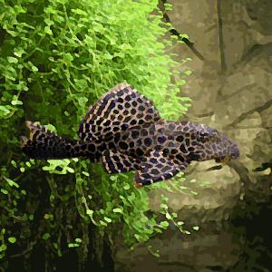 Pleco gibbiceps (environ 6 cm)