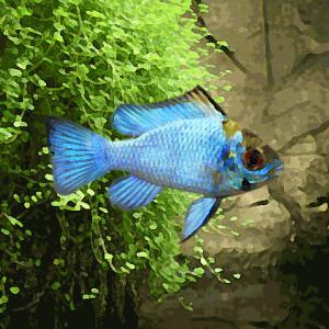 Apistogramma ramirezi sp.bleu electric (environ 3.5 cm)