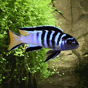 Pseudotropheus elongatus (environ 5 cm)