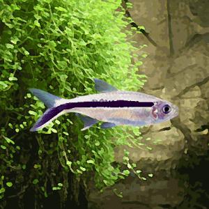 Thayeria (environ 2.5 cm)
