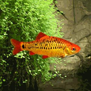 Barbus schuberti (environ 3.5 cm)