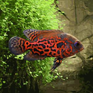 Oscar tigre (environ 5 cm)