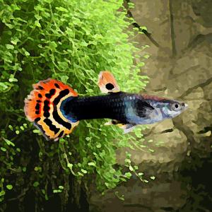 Guppy femelle dragon tuxedo (environ 4 cm)