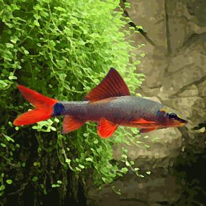 Labeo tricolor (environ 7 cm)