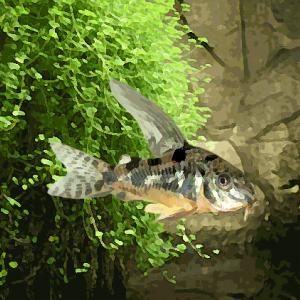 Corydoras paleatus voile (environ 3.5 cm)