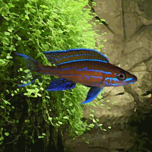 Paracyprichromis nigripinnis blue neon (environ 5 cm)