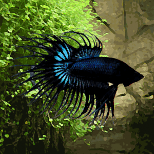 Betta male crowntail selection (environ 6 cm)