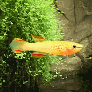 Aphyosemion gardneri gold (3 à 5 cm)