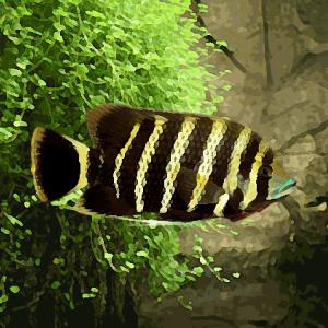 Tilapia zebra (environ 5 cm)