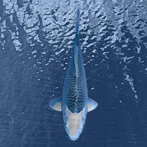Koi asagi bleu (7 à 10 cm)