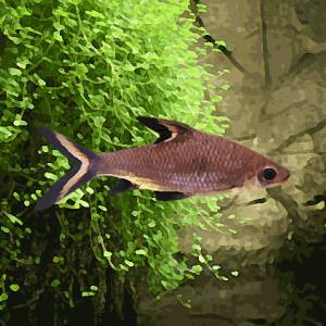 Balantiocheilus m (environ 6 cm)