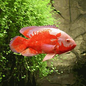 Oscar albinos rouge (environ 5 cm)