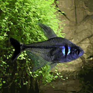 Tetras fantome noir (environ 2.5 cm)
