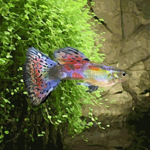 Guppy male multicolor glass (environ 4 cm)