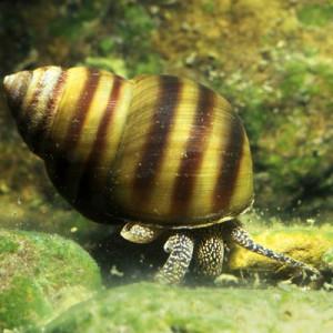 Escargots mâles et femeles paludine commune (viviparus conectus)