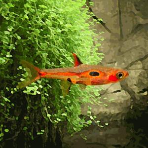 Boraras merah (environ 1.5 cm)