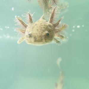 Bébés Axolotls Sauvages