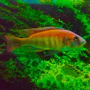 "Haplochromis Pundamilia nyererei ""Ruti Island"""