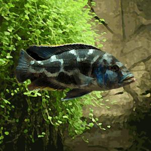 Haplochromis livingstonii (environ 5 cm)
