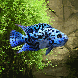 Jack dempsey bleu (environ 4 cm)