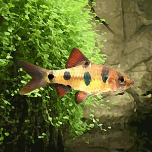 Barbus everetti (environ 4 cm)