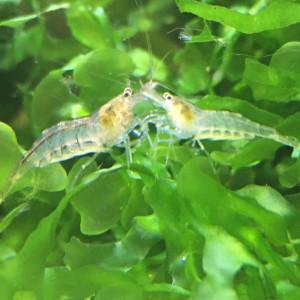 "Crevette malawa : ""mini-japonica"""