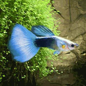 Guppy male neon bleu (environ 4 cm)