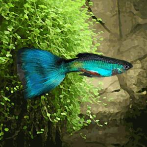 Guppy male bleu turquoise (environ 4 cm)