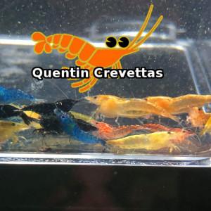 Lot mélange de 20 Crevettes Bleue, Jaune, Rouge et Orange