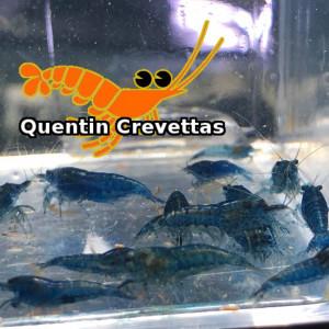 Lot 10 Crevettes Blue Velvet