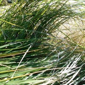Laîche des marais (Carex acutiformis)