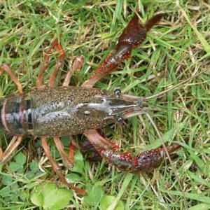 Ecrevisse à pattes grêles (Astacus leptodactylus) - écrevisse de bassin