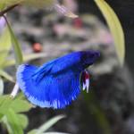 Aquariophile Kitsuma7