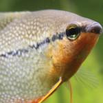 Aquariophile Lamak