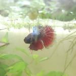 Aquariophile Hiotsukeru