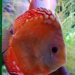 Aquariophile TITI60