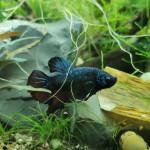 Aquariophile Clairou