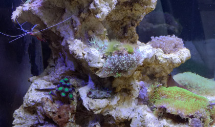 Crustac lysmata amboinensis fiche compl te param tres for Nourriture aquarium