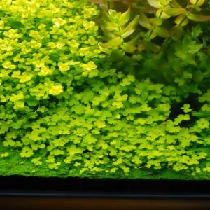 Hydrocotyle tripartita Sp. Japan