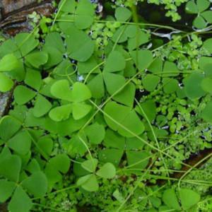 Marsilea pubescens