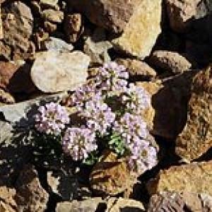 Reussi rotundifolia