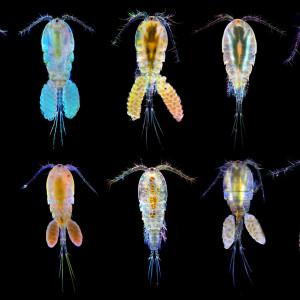 Copepoda spp