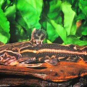 Acanthodoras cataphractus