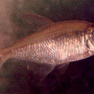 Astyanax daguae