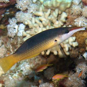 Gomphosus caeruleus