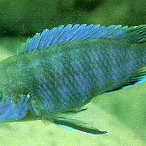 Labidochromis ianthinus