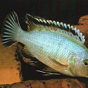 Labidochromis lividus