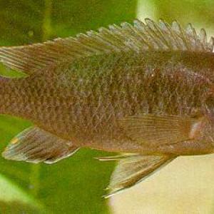 Labidochromis mathotho
