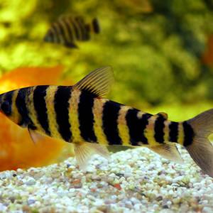 Leporinus octofasciatus