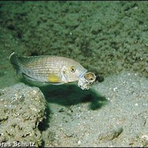 Neolamprologus callipterus
